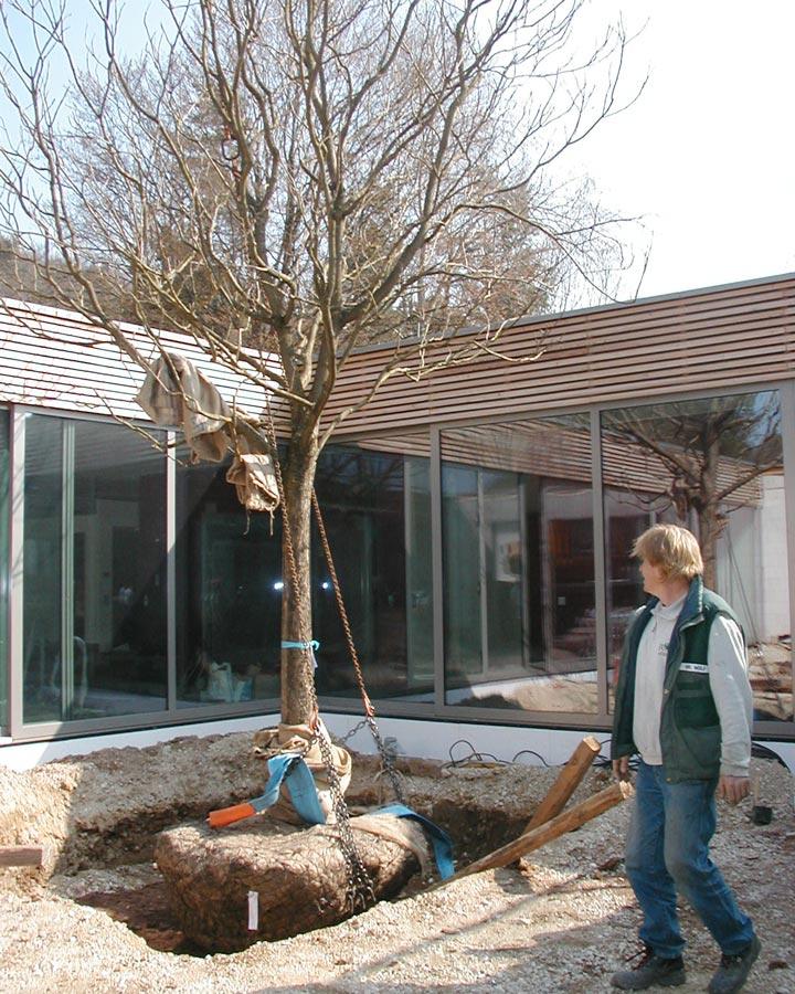 Pflanzung von Baum mit GaLaBau Jung